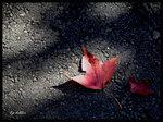 地上的紅葉