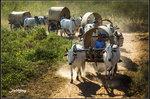 牛隊馬車結伴來