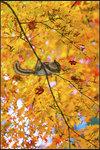 花鼠走上樹枝頭 妄想一朝變鳳凰 Chipmunk walks on the branch