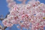 Sakura_118