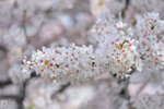 Sakura_52