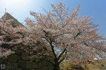 Sakura_64