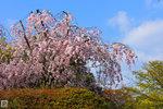 Sakura_75