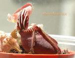 Cephalotus4