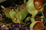 Nepenthes ampullaria hot lips2