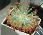 Drosera derbyensis x aff ordensis orange traps2
