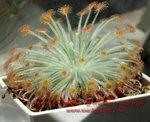 Drosera derbyensis x aff ordensis orange traps3