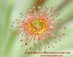 Drosera derbyensis x aff ordensis orange traps4