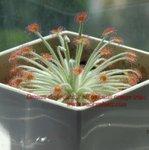 Drosera derbyensis x aff ordensis orange traps7