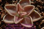 Pinguicula sp Tolantongo1
