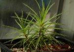 Roridula gorgonias捕蟲樹12