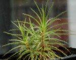 Roridula gorgonias捕蟲樹