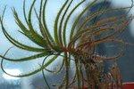 Roridula gorgonias捕蟲樹2