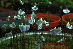 Utricularia livida