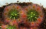 Drosera callistos1