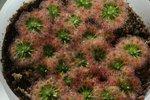 Drosera callistos2
