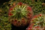 Drosera callistos5