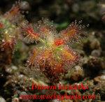 Drosera lasiantha1