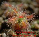 Drosera lasiantha2