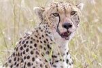 Staring Cheetah UK3A6290r