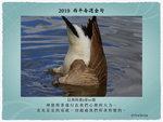 20190127 加拿大鵝