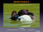 20180225 鳯頭潛鴨
