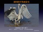 20180422 蒼鷺