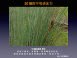 20181216 純色山鷦鶯