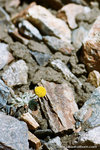 a small yellow flower grew from the rock.  it sure is strong.