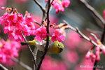 aIMG_8846 (暗綠繡眼鳥 -Japanese White-eye)