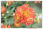 08022021_Victoria Park_Lunar New Year Flower Fair_Chrysanthemum00003