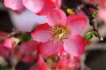 05022013_Lunar New Year Flower Fair@Victoria Park_Peach Blossom00013