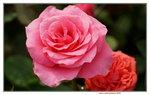 20032019_Sony A7 II_Hong Kong Flower Show_Varieties_Rose00002