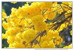 21022021_Nam Cheong Park_Handroanthus Chrysotrichus黃花風鈴木00040