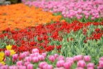 20032015_Hong Kong Flower Show_Tulip00006