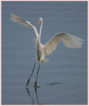 Egrets  Happy Landing