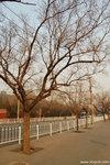 密密麻麻的枯樹為整個北京添上另一番感覺。
