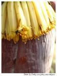 黃蜂在香蕉花上