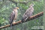 海豚之旅16May04_10018 左:蛇鵰;右:麻鷹