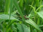 Grasshopper at Pok Fu Lam mountain trail