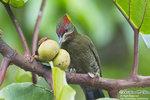 黃冠啄木鳥 (Lesser Yellownape Woodpecker)