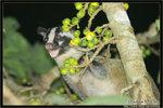 果子狸 Masked Palm Civet