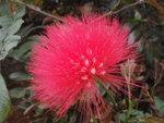朱纓花或紅絨球.jpg