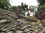 """廢屋頂的植物, 會否是 """"蚌花(鴨跖草科)又名紫萬年青"""" DSC04072"""