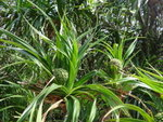 露兜樹 / 假菠蘿 DSC04575