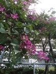 而洋紫荊花則正盛開 DSC01079a