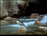 Night Heron At River