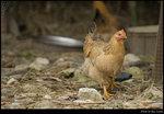 chick_01s