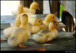ducky 02