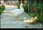 ducky 03